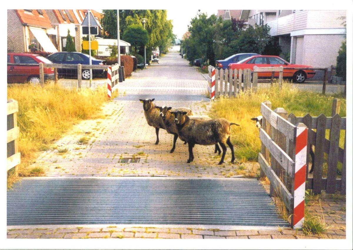 De schapen in Culemborg